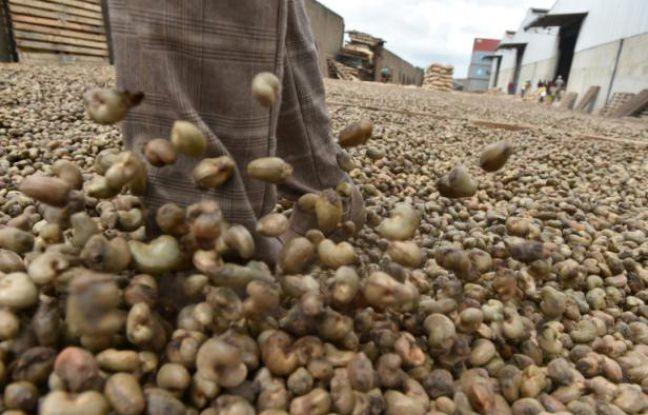 Côte d'Ivoire: la production officielle de noix de cajou menacée