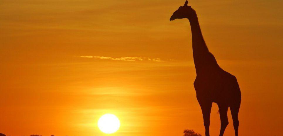 Congo: Les girafes sont tuées pour leur queue