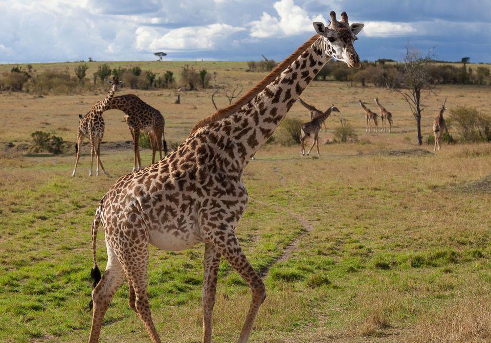 Quatre girafes pour le prix d'une