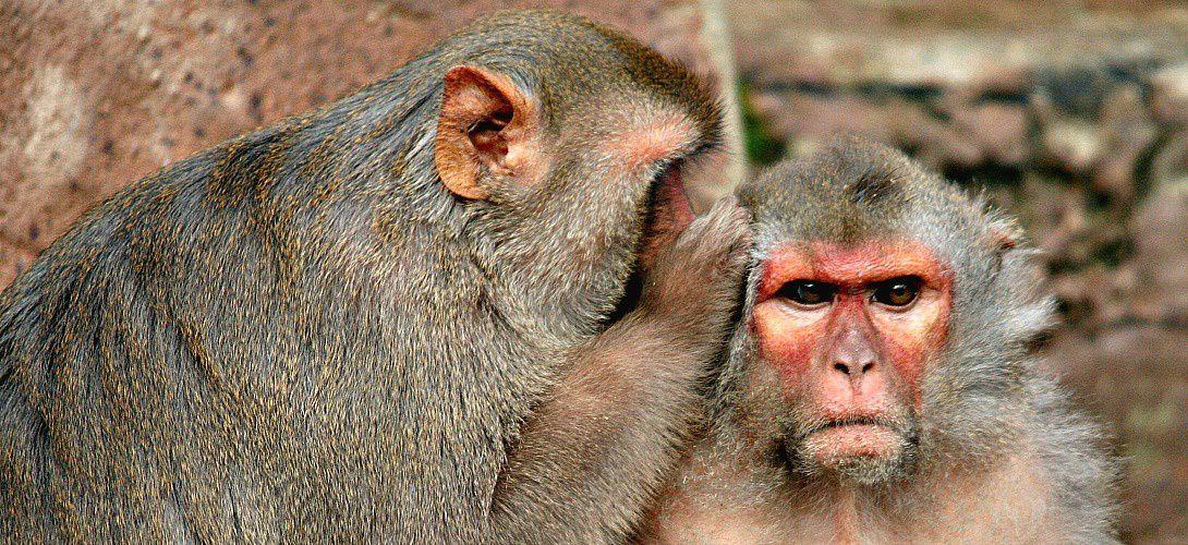 Des singes peuvent écrire par la pensée à une vitesse de douze mots par minute