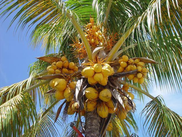L'huile de coco aussi nocive que celle de palme