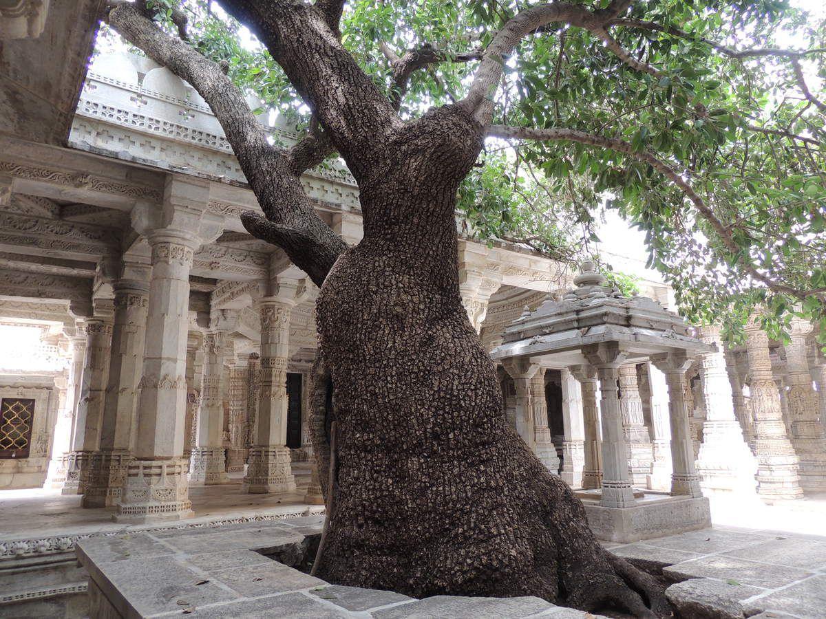 Un arbre dans le temple