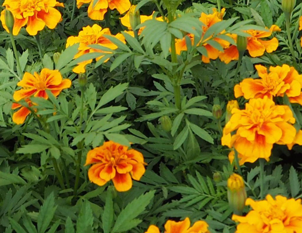Les serres thomas ren les voivres 88240 - Plants de poireaux a repiquer ...