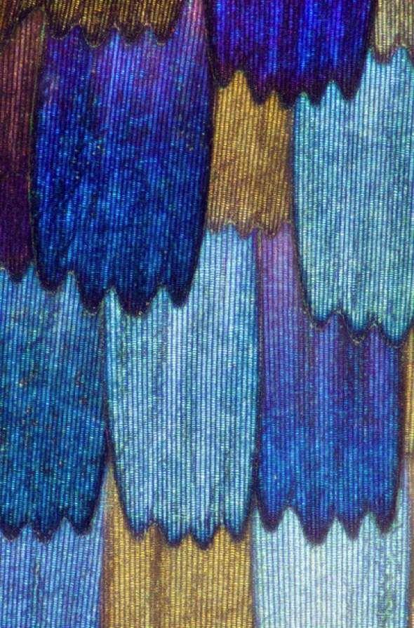 Ailes de Papillons vues au Microscope par Linden Gledhill. Pour les deux photographies : Via © Images : Linden Gledhill