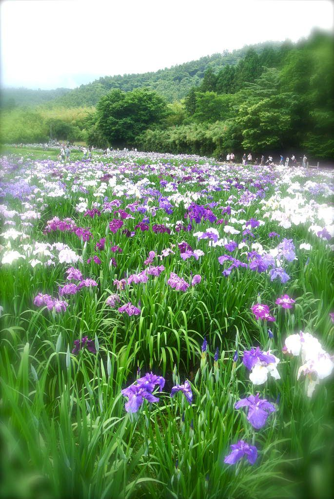 Fin mai-juin : Romantique saison des iris!
