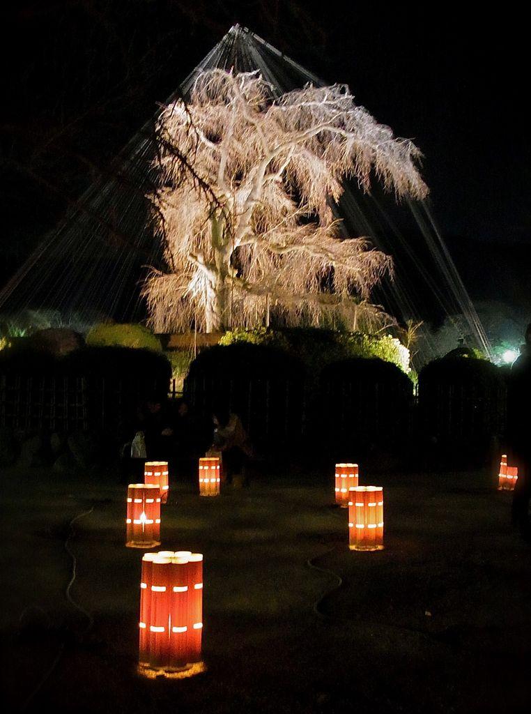 Derrière, le célèbre cerisier Sakura pas encore en fleurs du parc Maruyama