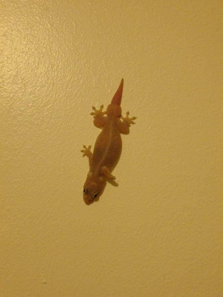 Le gecko de la cuisine.