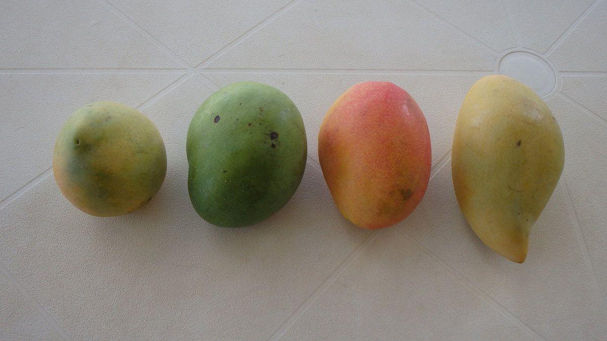 De gauche à droite : mangue José, mangue carotte, mangue américaine, mangue de Thaïlande.