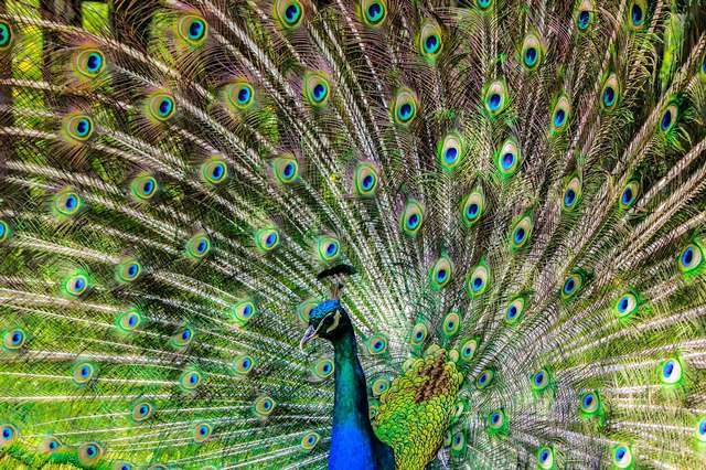 Peacocks share many things with weddings