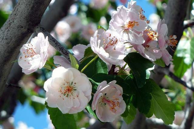 Blooms of cherry treas represent spring, new life and are often used at wedding as well