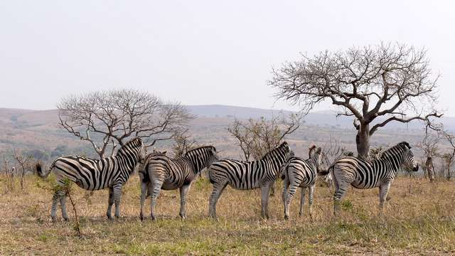 Black and white stripes of zebras bring astonishing contrasts to every party
