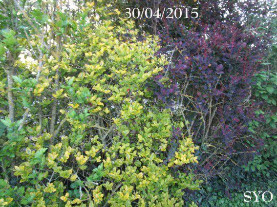 Premier mai, le muguet est fleuri au Jardin de Fille