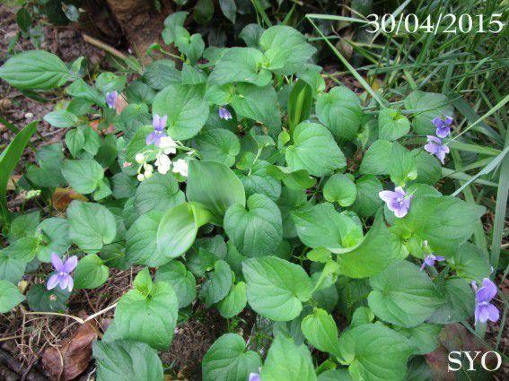 Premier mai le muguet est fleuri au jardin de fille chez mamigoz - Au jardin de mon pere les lilas sont fleuris ...