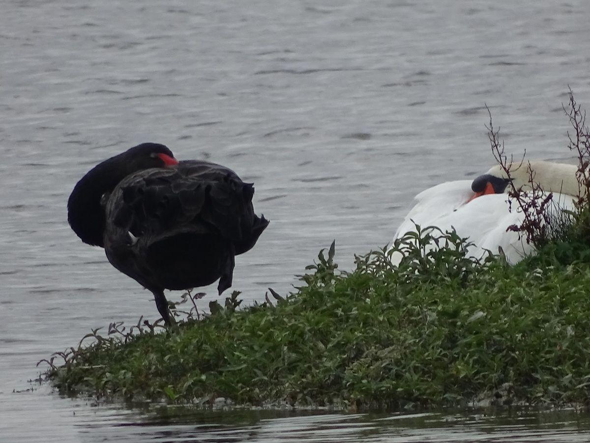 Cygne noir (baie de Somme)