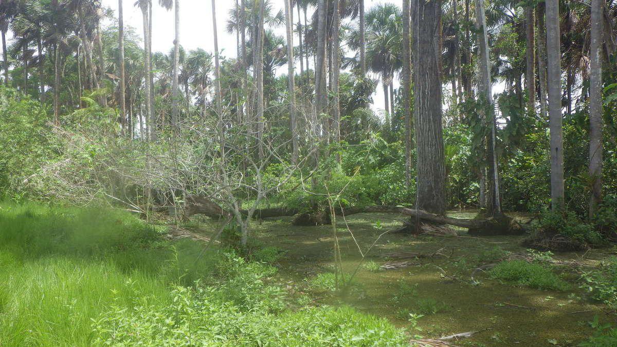 Chronique Guyanaise, les capibaras au rendez vous, 31 mars 2014