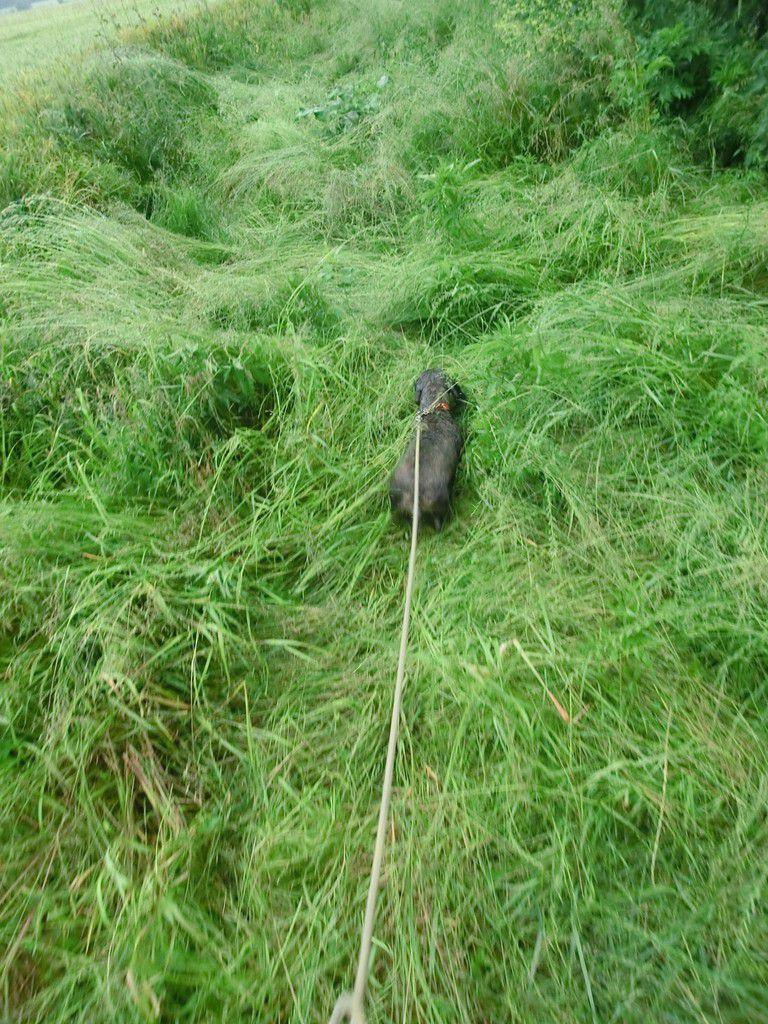 Un vieux brocard à l'approche dans les blés, 2 à 3 juin