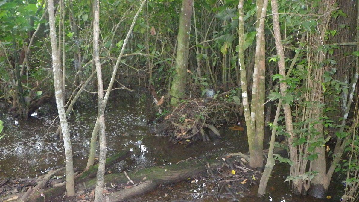 Chroniques Guyanaises, une journée au capibara, 20 mars 2015