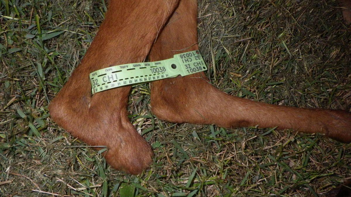 Tir sanitaire d'une chevrette à 3 pattes