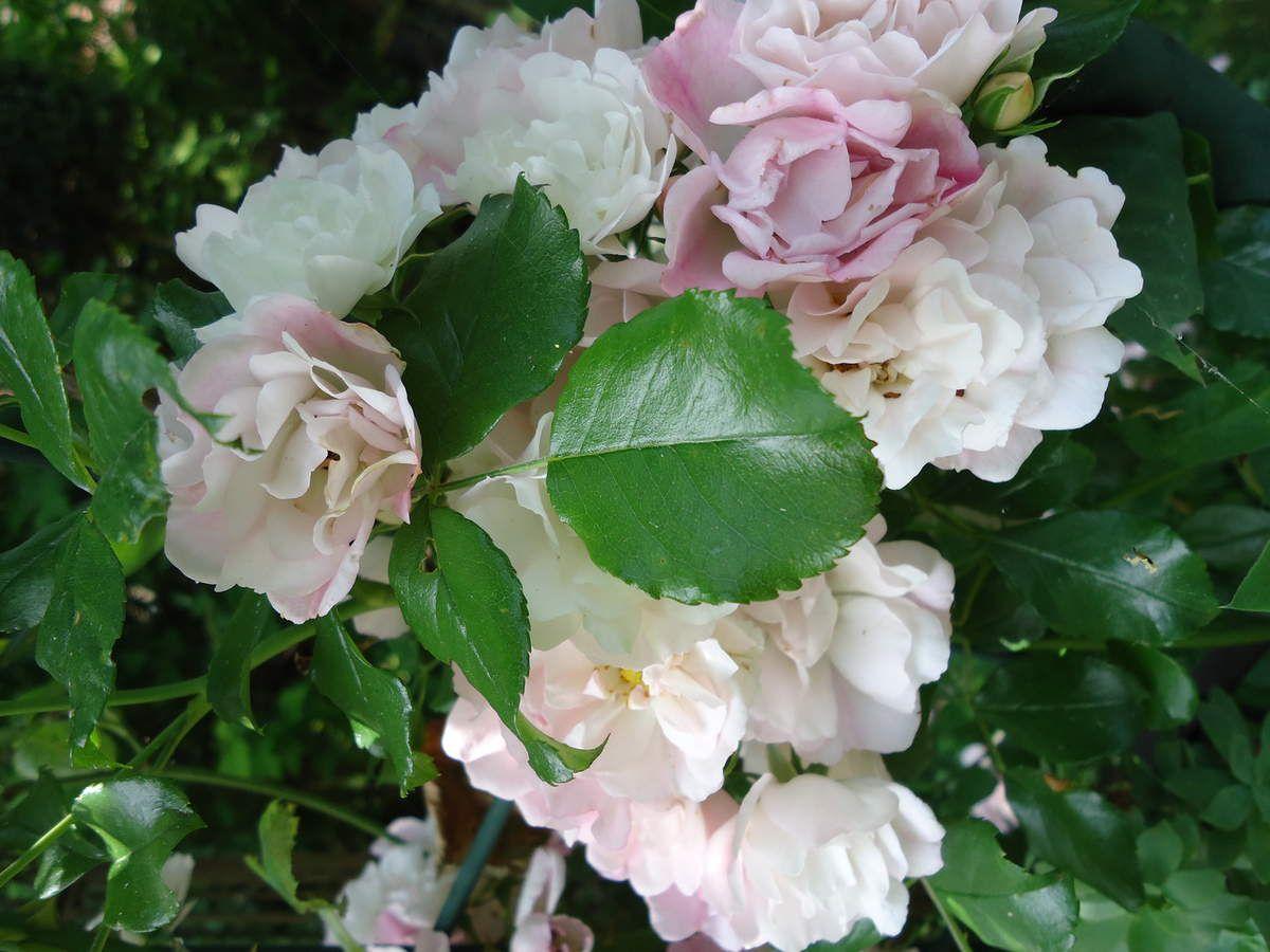 """Toutes les roses de mon jardin """"Le Clos Fleuri"""""""