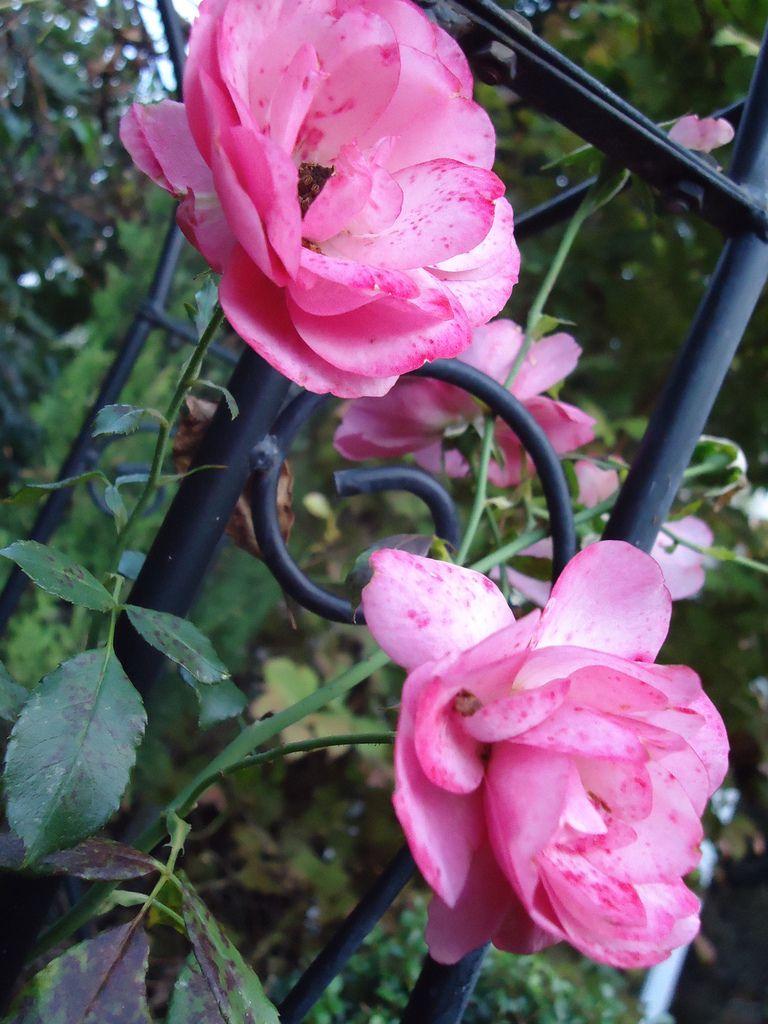 Mes rosiers  .....