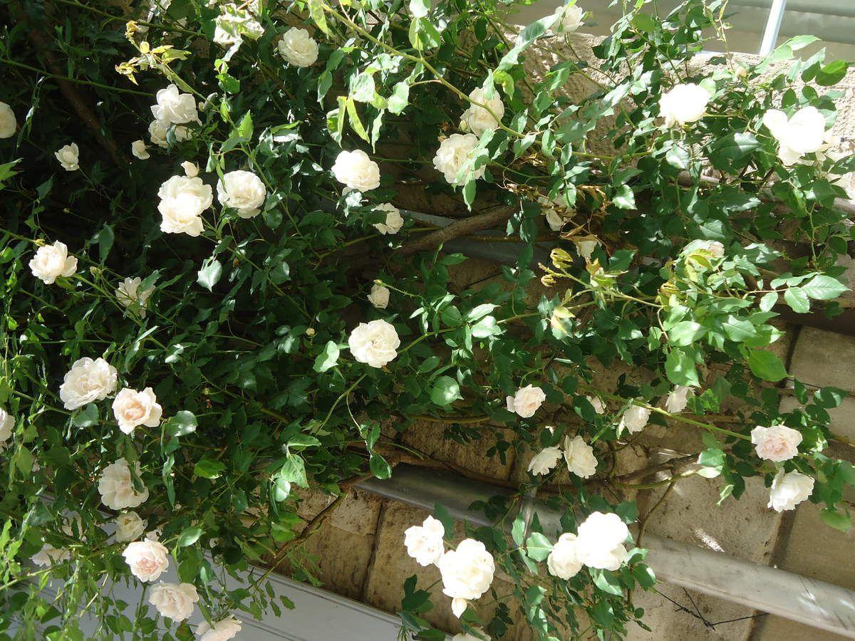 Les roses de Grignan .....