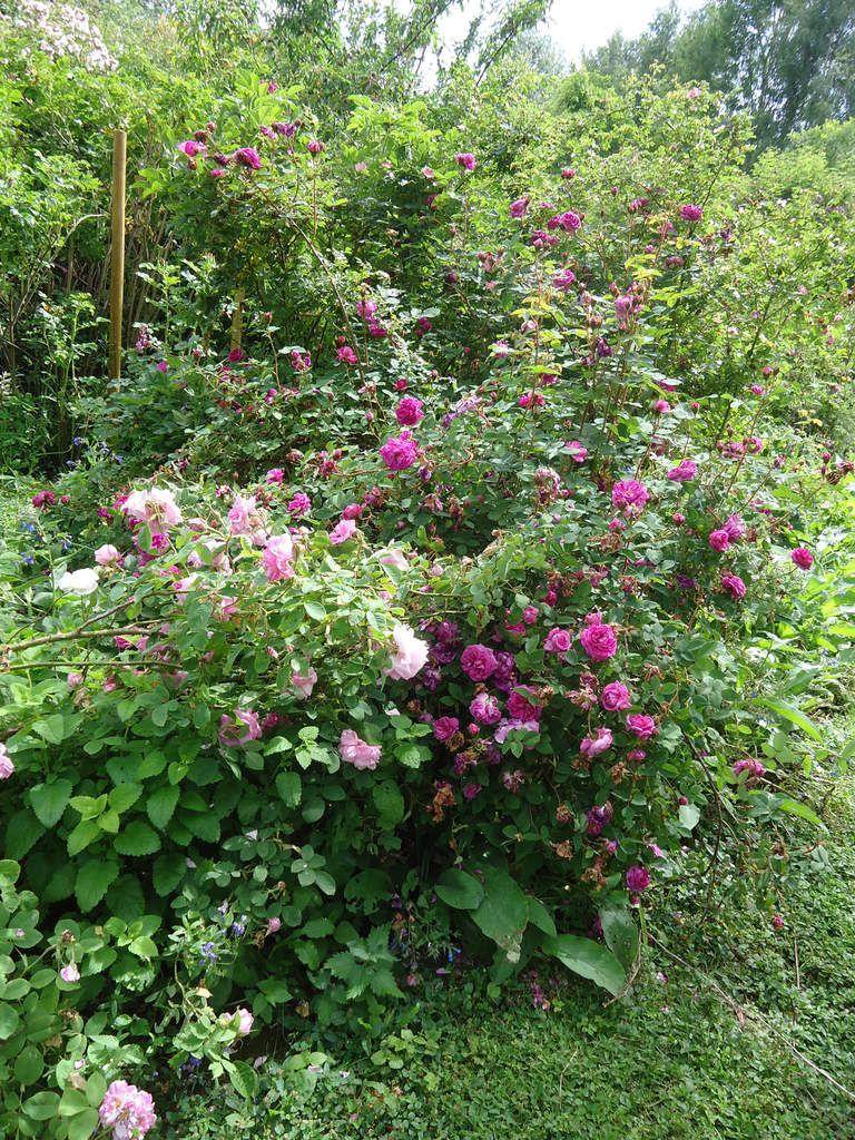 Mon voyage dans la Creuse se termine par La  rose des prairies