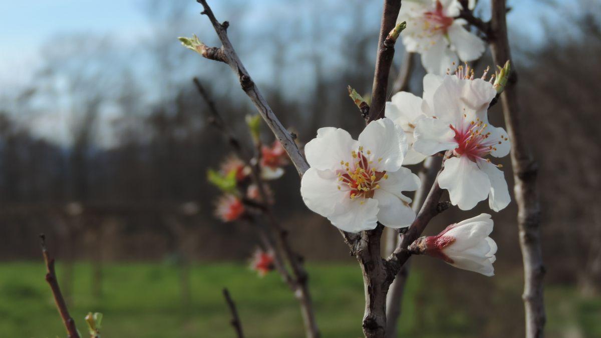 Fleurs d'amandier dans le jardin botanique des plantes de la Bible