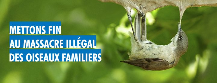 Crédit : CABS (Committee Against Bird Slaughter)