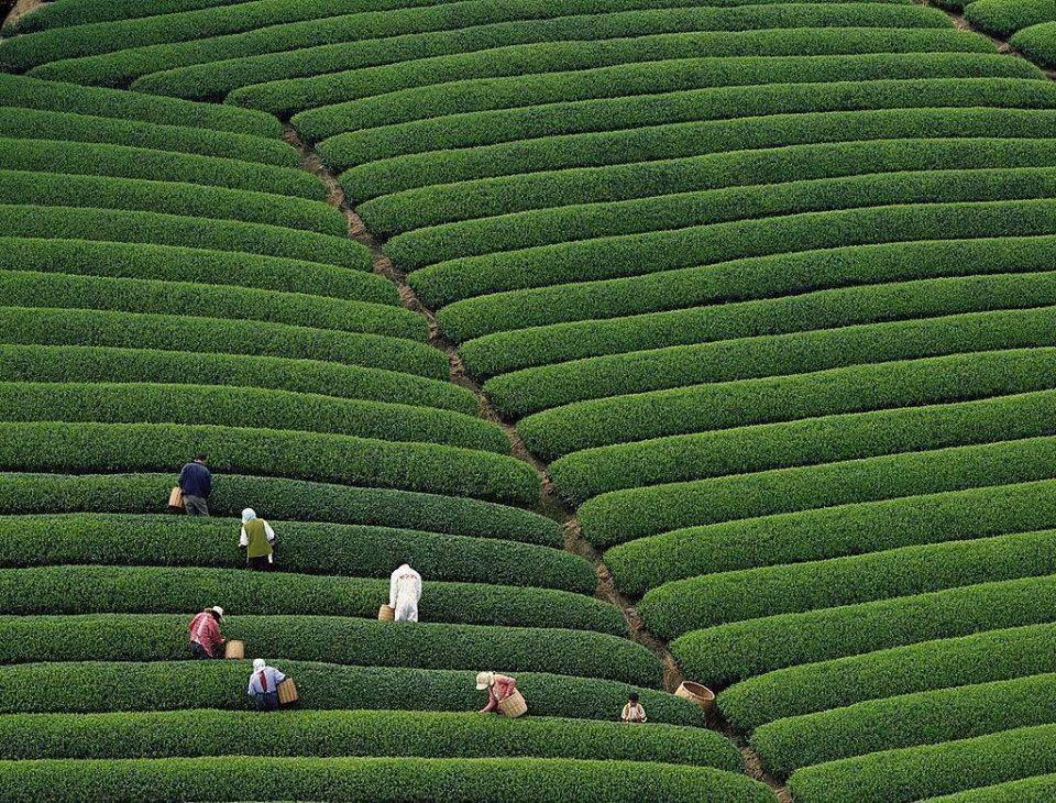 Chine, Agriculture, le Thé, الفلاحة في الصين، الشاي