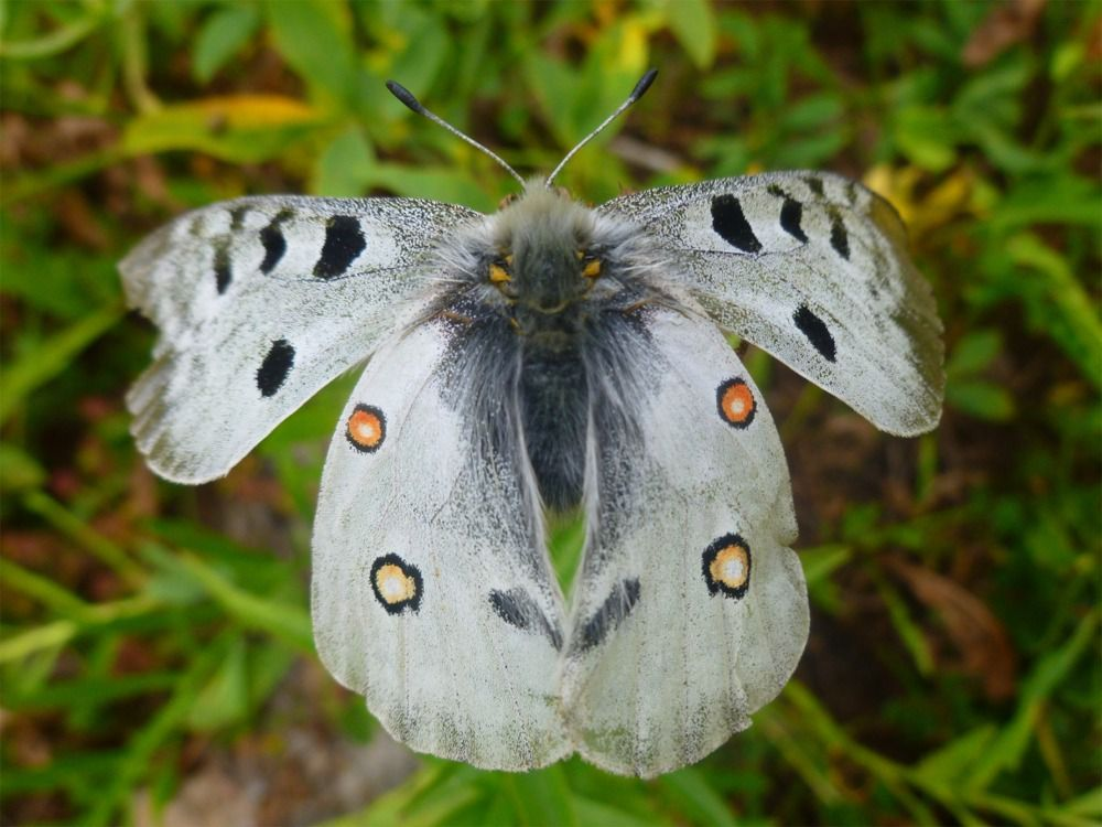 Papillon Apollon (Photo de Galipette)