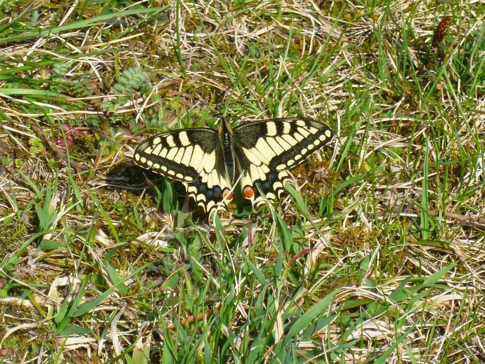Papillon Macaon (Photo de Galipette)