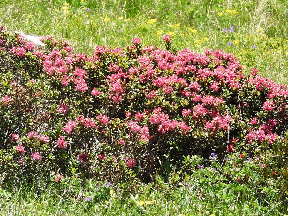 La zone à Rhododendrons