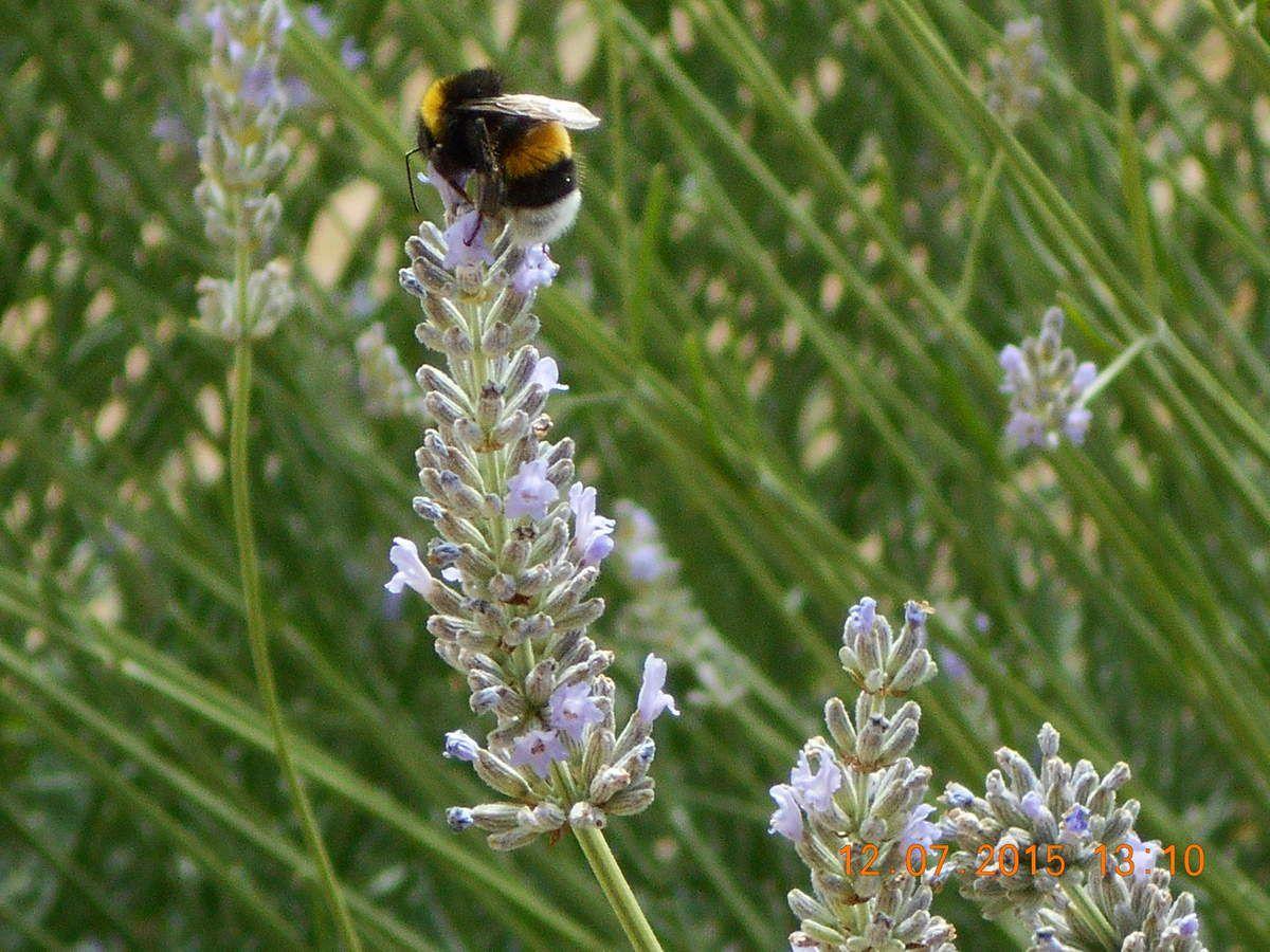 le bourdonnement des abeilles, bourdons et autres