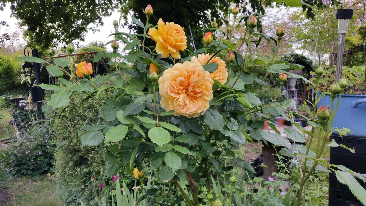 la pluie a quelque peu epargné mes rosiers,rosiers anglais tres parfumés ,il y en a 27 en tout ,ça sent bon!!! vous sentez?