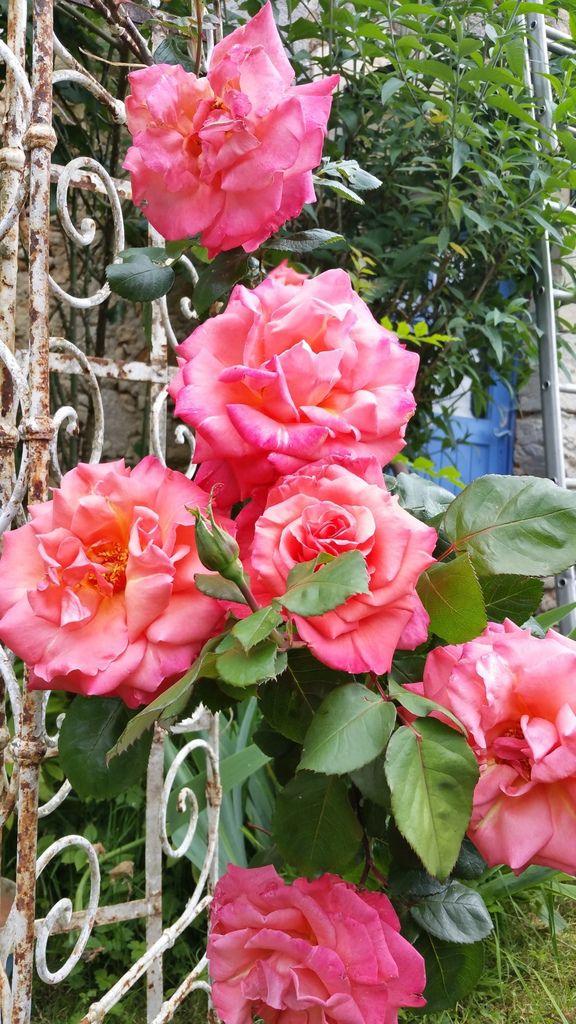 trop beau ce rosier couleur corail,les fleurs sont enormes !
