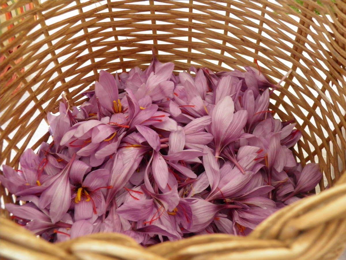 Les fleurs de crocus sativus fraichement cueillies.