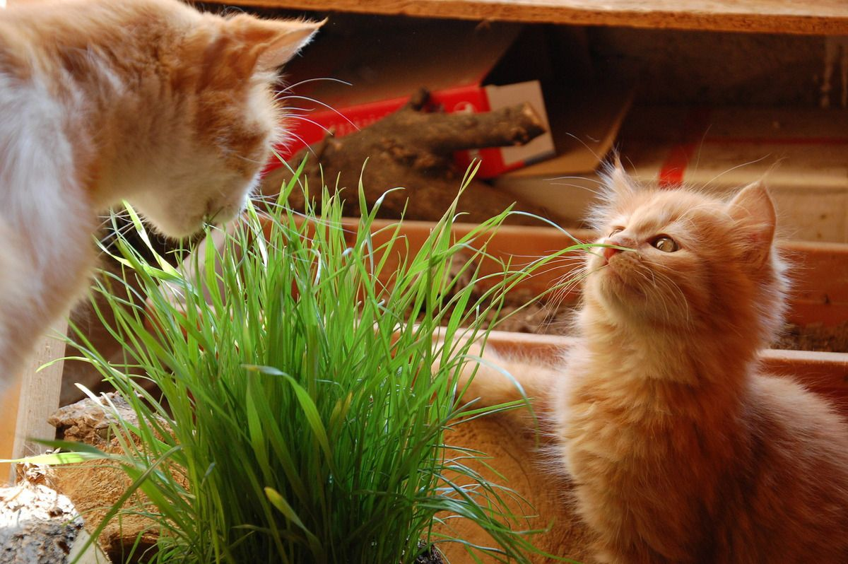 Mille graines herbe a chat facilite son transit ebay - Herbe a chat plante ...