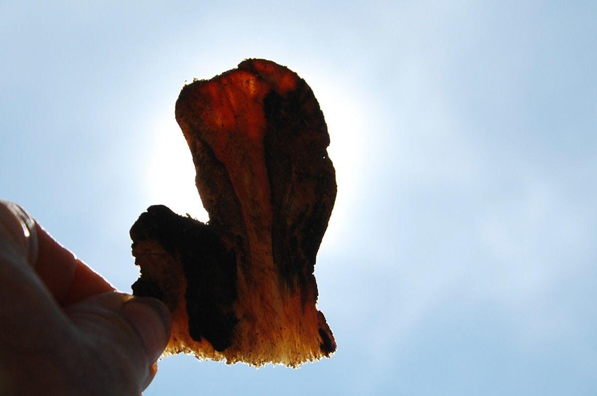 Et voici au soleil la tranche de pin.
