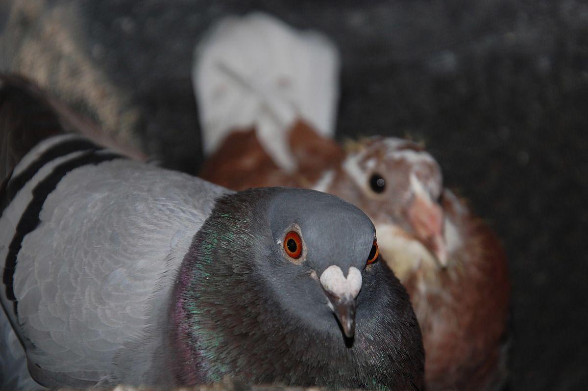Voici un pigeon avec petits, l'un des deux qui ne participera pas à l'hommage.