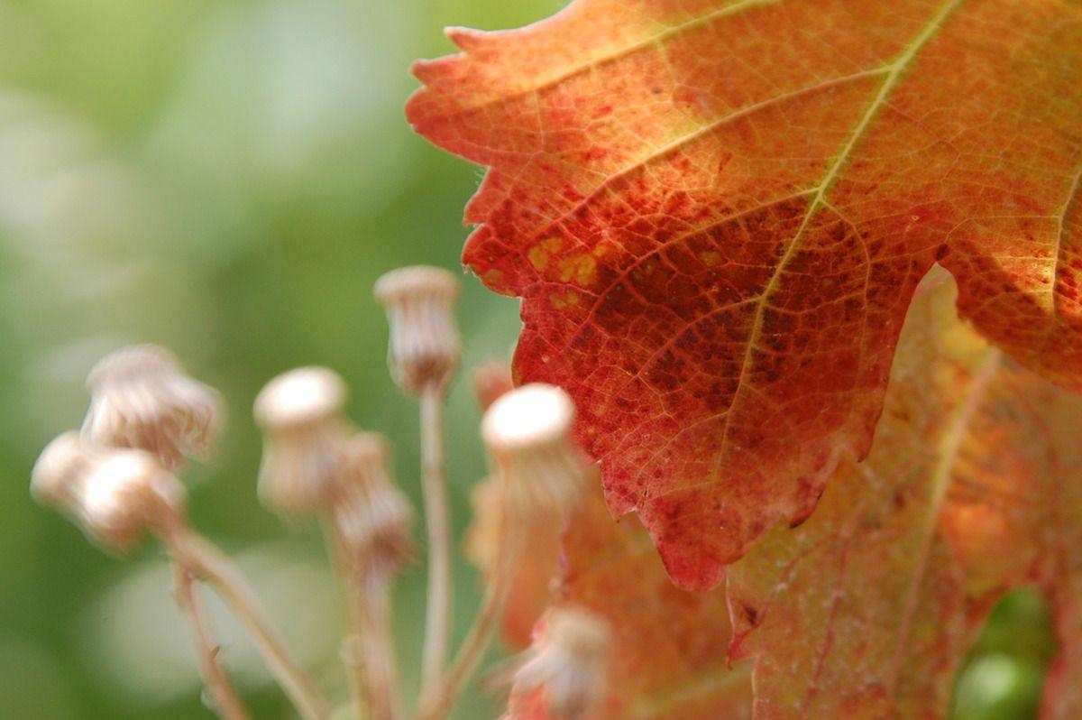 Attention les photos sont de 13 juillet 2014 , la vigne avec une feuille rouge.