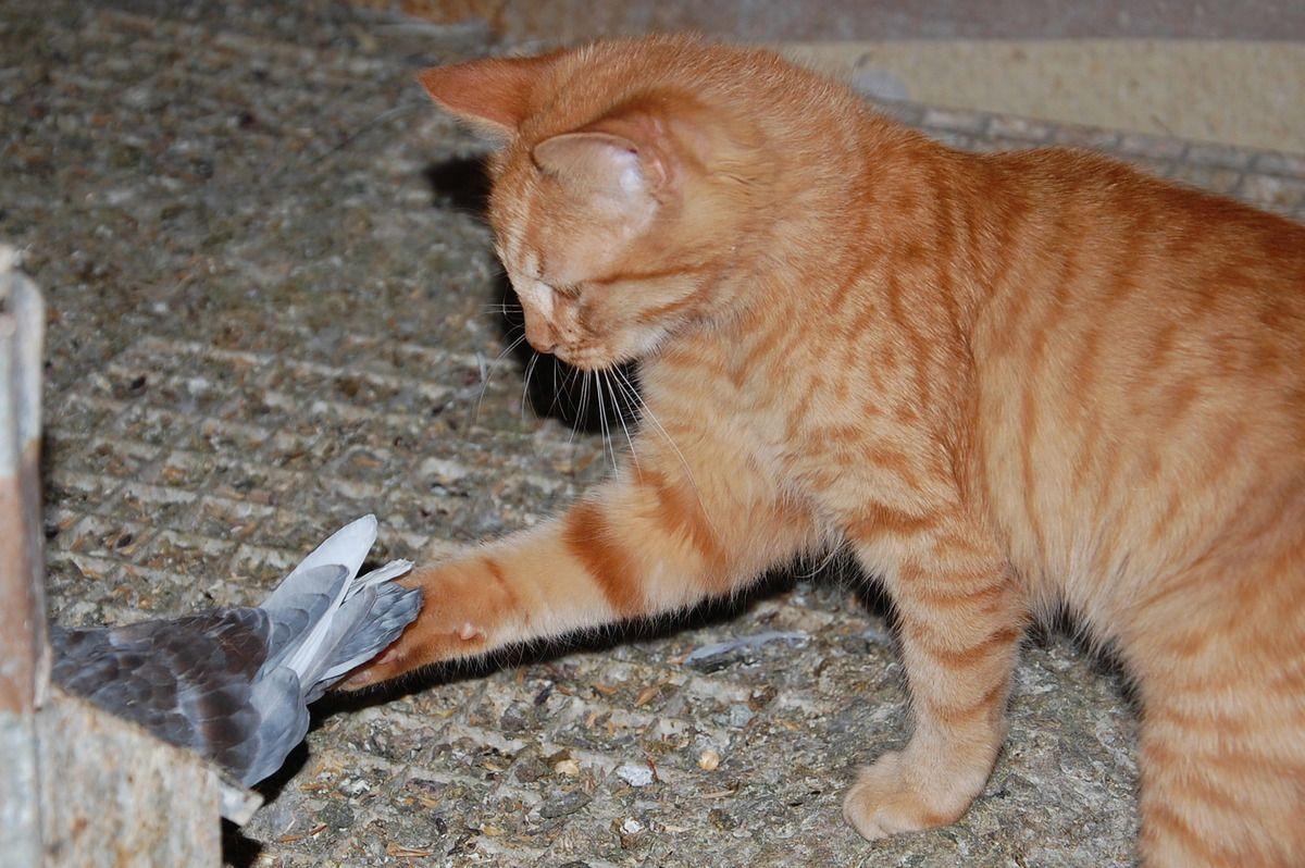 La première caresse à un pigeon. Un moment rare dans la vie de chaton. (17)