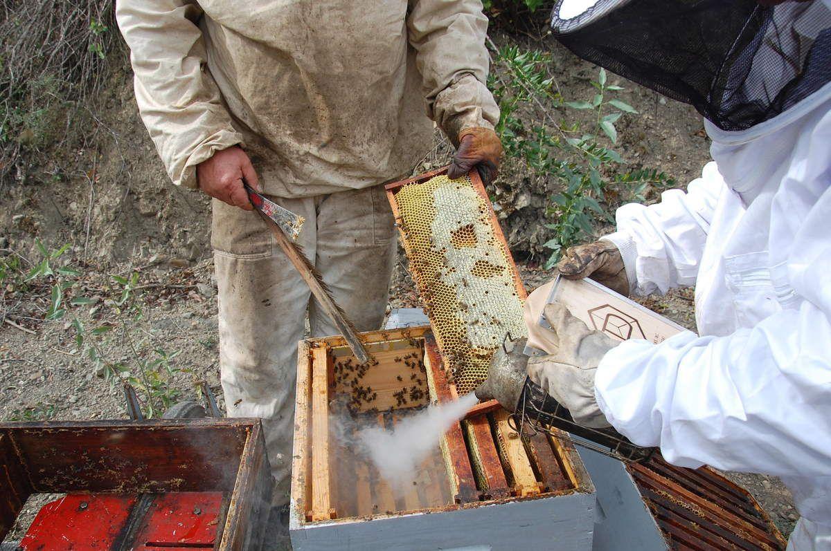 Récolte d'un cadre de miel après le brossage.