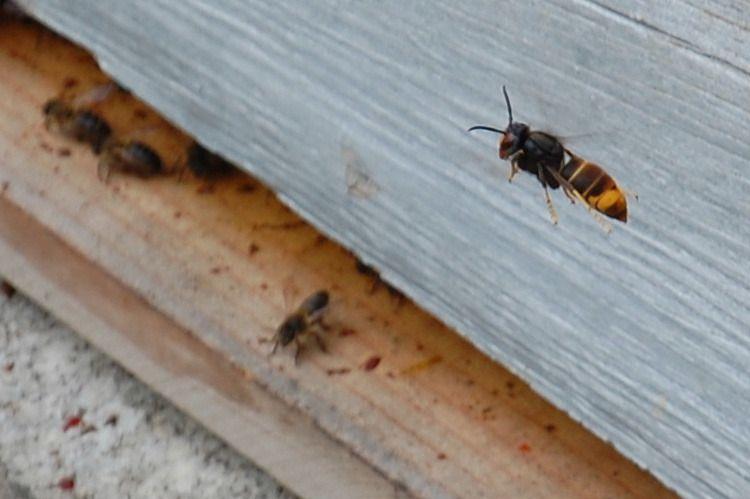 Voici un gros plan sur le frelon asiatique. Il prépare son attaque, il décortiquera l'abeille au sol.