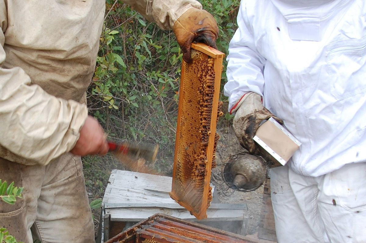 Pour plus de sécurité il vaut mieux toujours être deux pour récolter le miel. L'un qui manipule l'enfumoir et l'autre qui effectue les opérations de récolte.