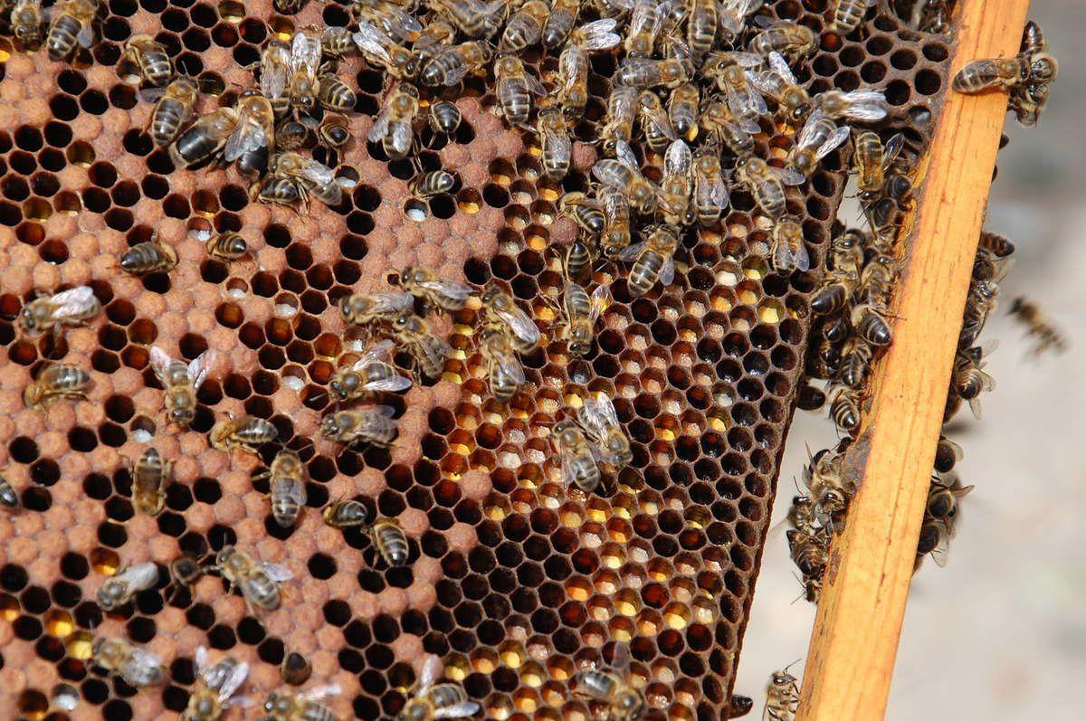 Gros plan sur le couvain et à droite le pollen stocker dans les alvéoles.