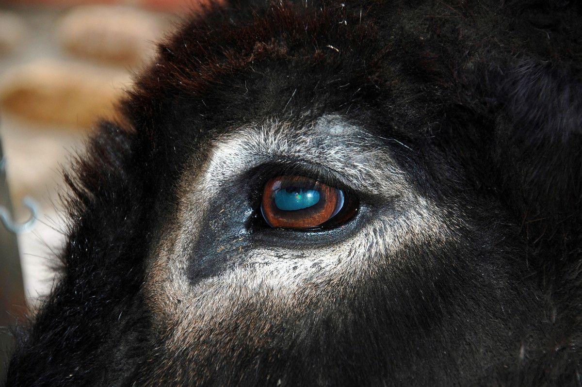 le regard de l'âne, un regard qui en a vu des histoires.