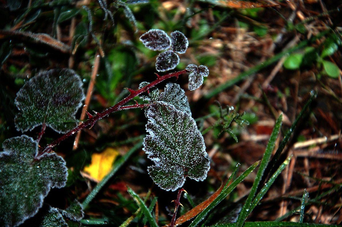 Des feuilles de ronce, pas très chaud le matin.