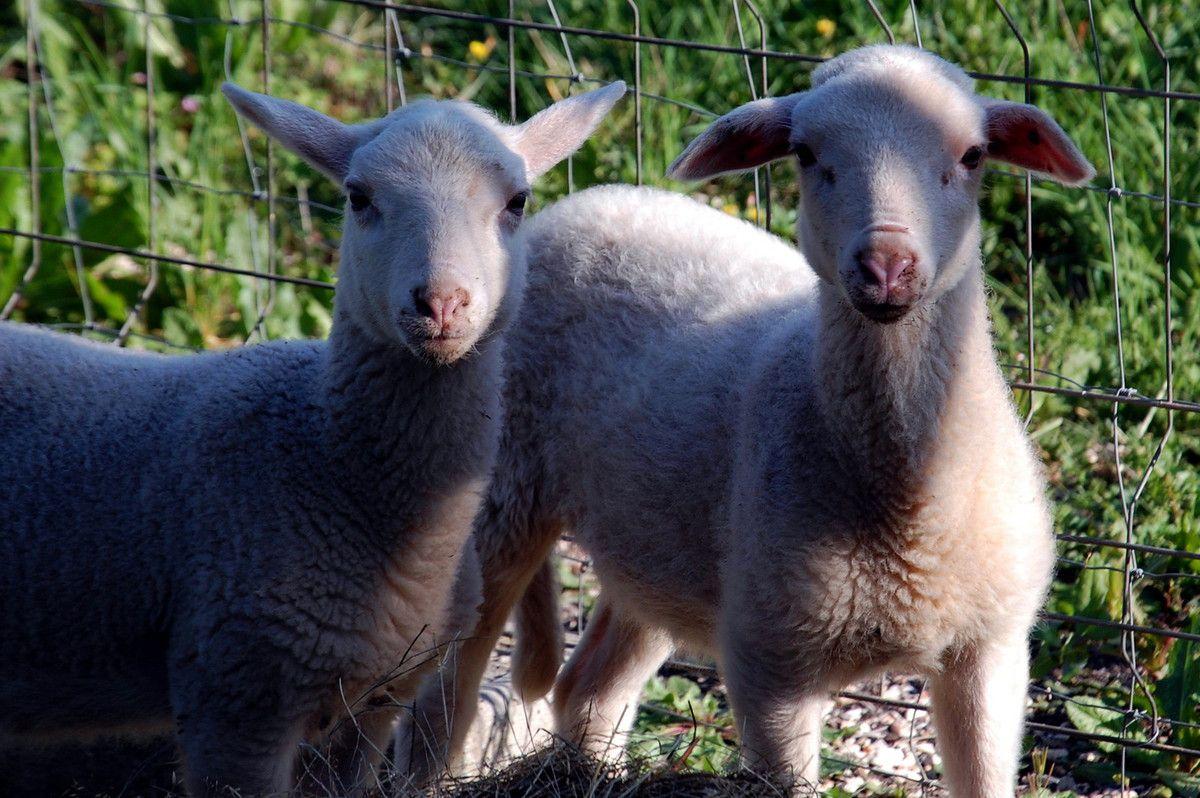 Maintenant tout en bas les moutons sont là.