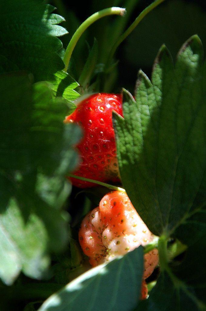 La fraise se cache ici, enfin non elle est vedette.
