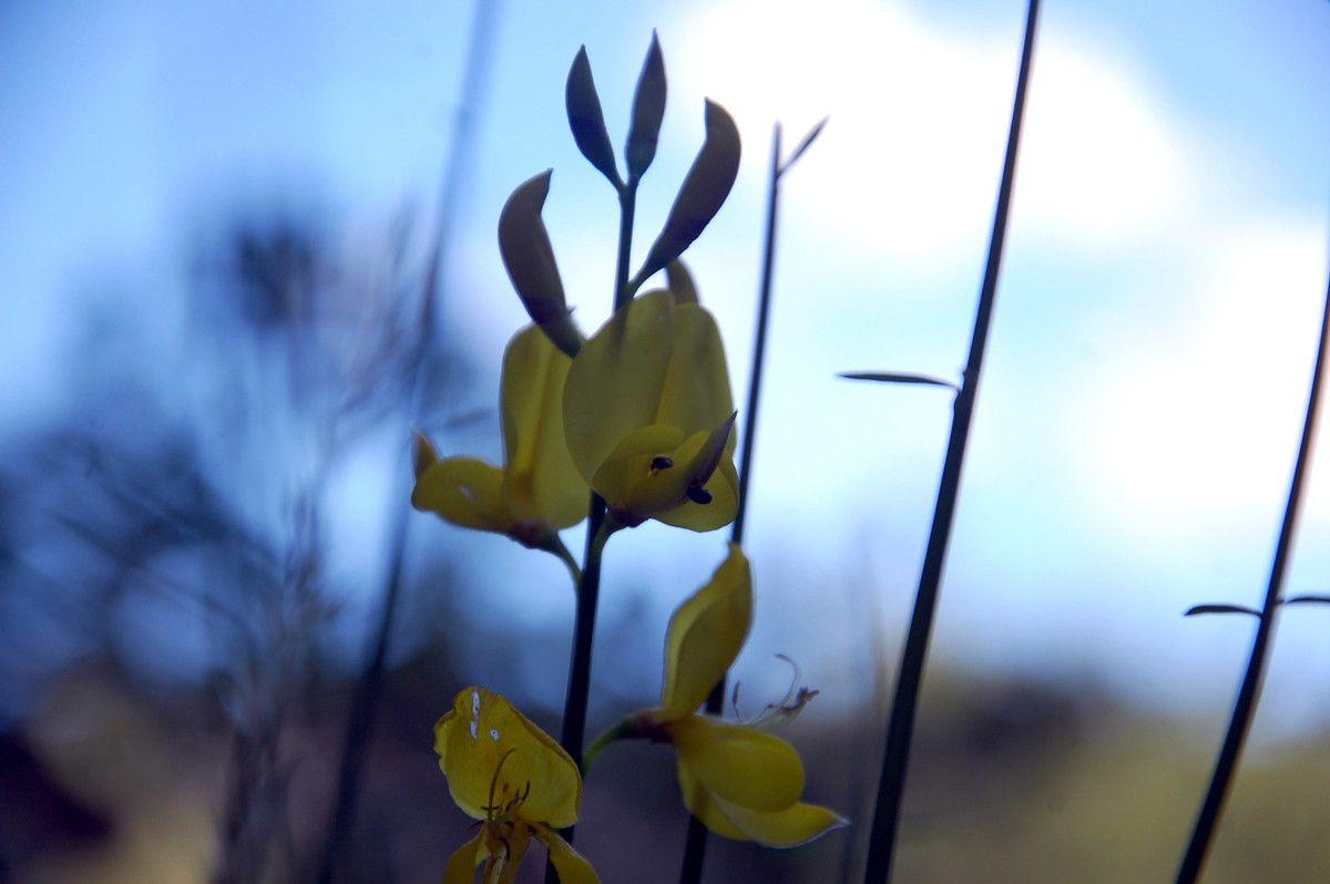 Voici une belle branche de genêt en fleurs.